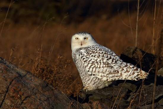 Snowy Owl by Jim Cumming