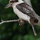 kookaburra by Brett Habener
