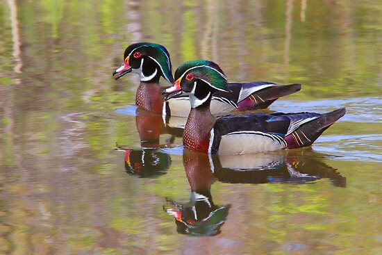 Twin Beaks - Wood Ducks by Jim Cumming