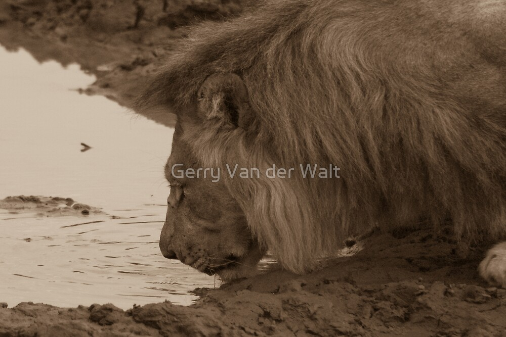 Male Lion Drinking - Sepia by Gerry Van der Walt