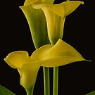 Calla Chorus  by Gregory J Summers