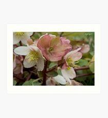 White and Pink Helleborus Flowers Art Print