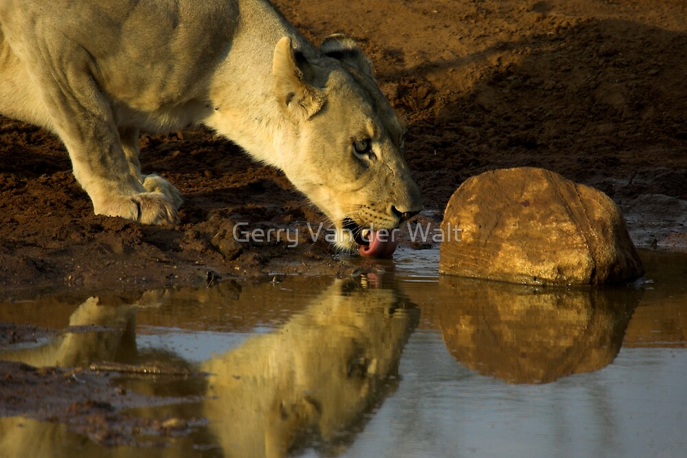 Reflection of Lioness Drinking by Gerry Van der Walt