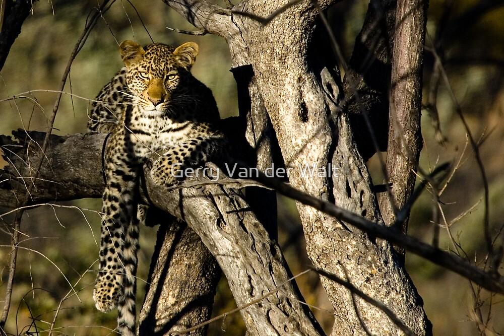 Female Leopard in Tree by Gerry Van der Walt