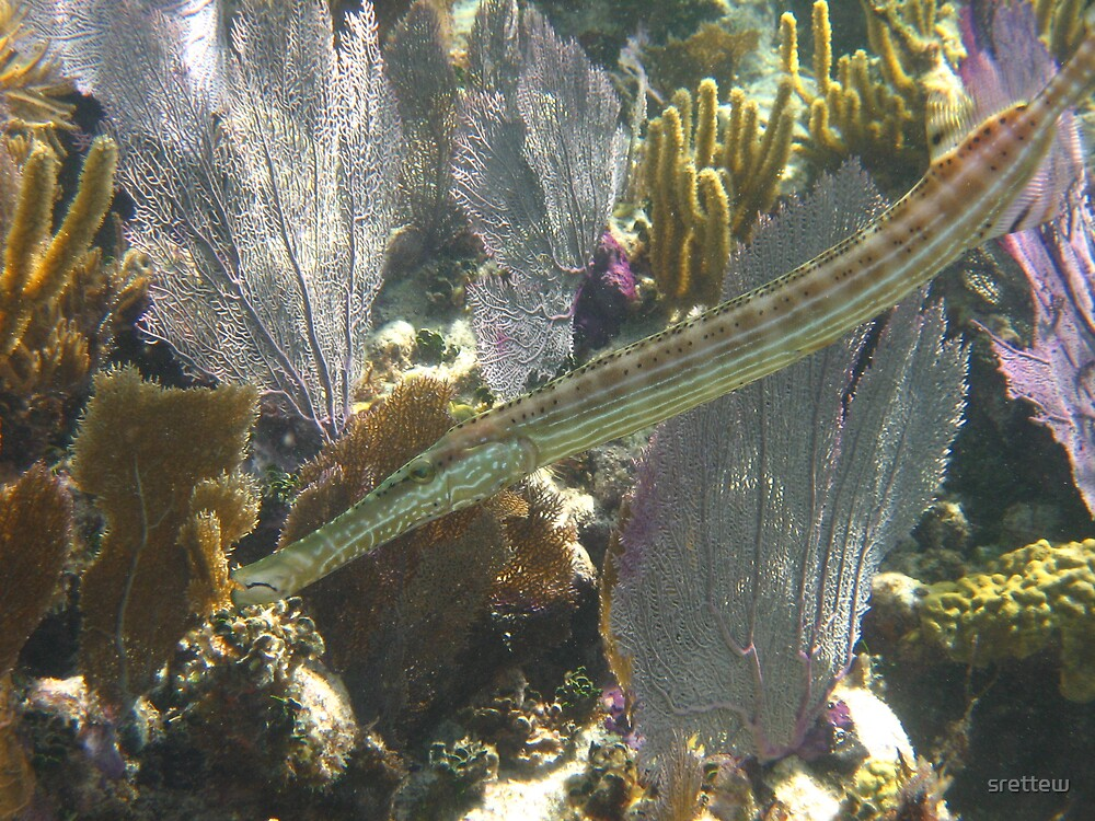 The Trumpet Fish by srettew