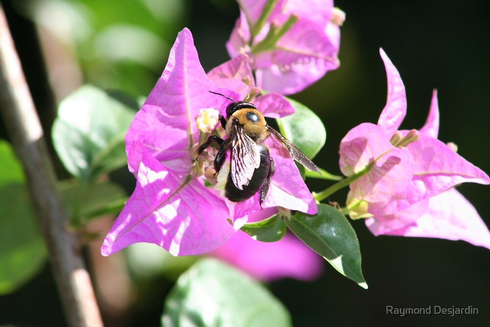 honey bee on flower 2 by Raymond Desjardin