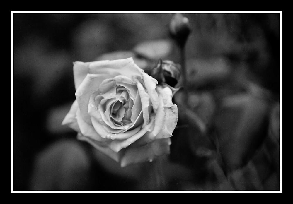 B&W Rose by Kimberly Sharpe