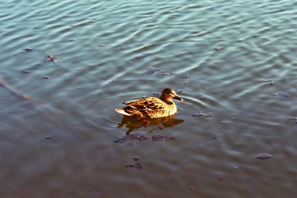 Duck Pond by Kimberly Sharpe