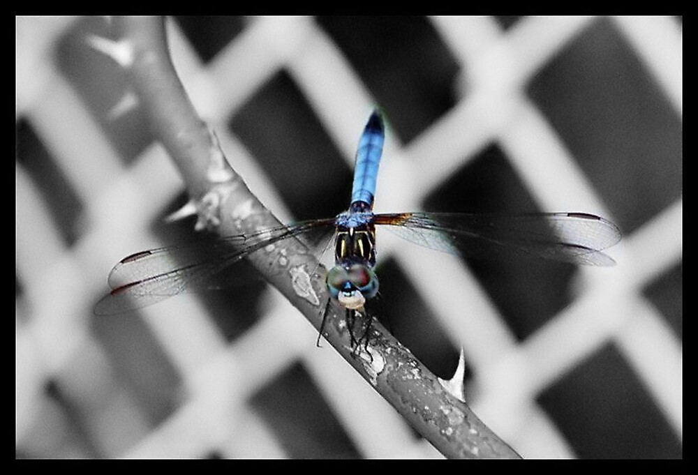 Dragonfly by Kimberly Sharpe