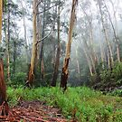 Stringy Bark in the Mist - Mt Wilson NSW Australia by Bev Woodman