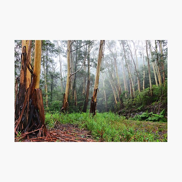 Stringy Bark in the Mist - Mt Wilson NSW Australia Photographic Print