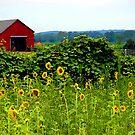 Sunflower Farm by christiane