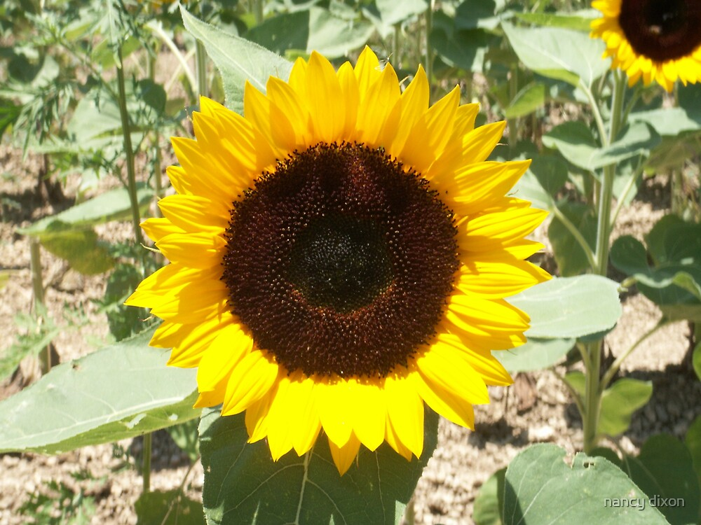 sunflower by nancy dixon