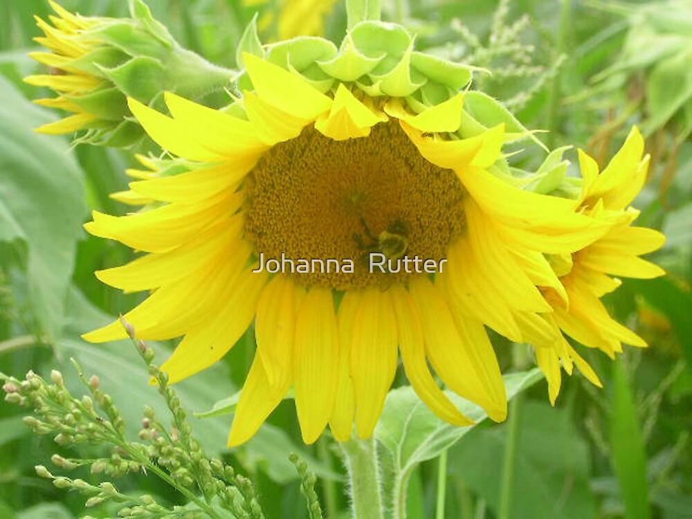 sunflower with bee 2 by Johanna  Rutter