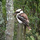 Kookaburra on a fence post... by Renae