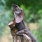 Frilled Lizard by Sara Lamond