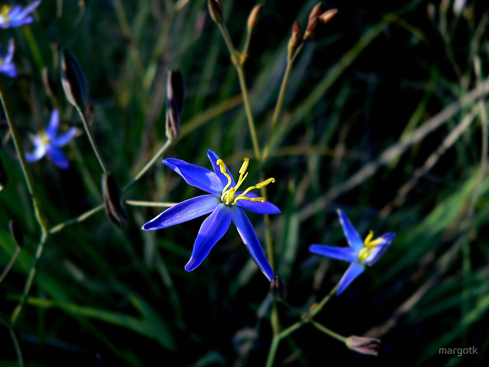 Tufted Blue Lily by margotk