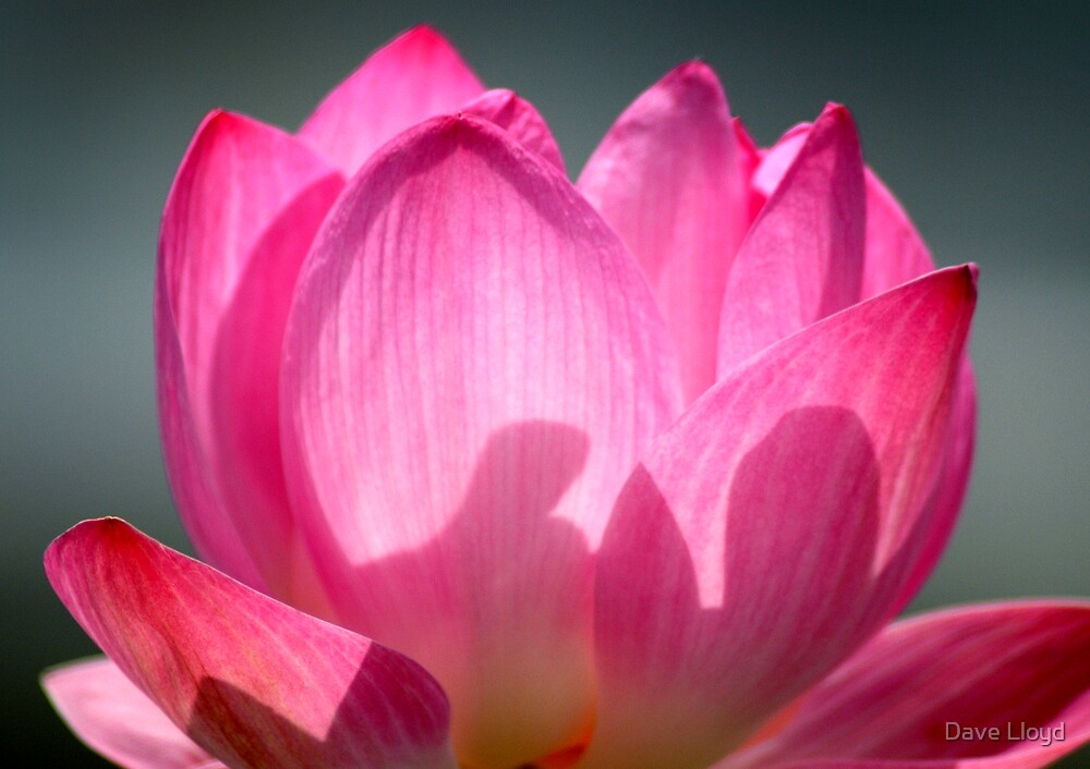 Lotus Bloom by Dave Lloyd