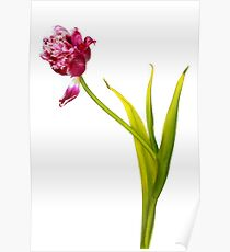 A tulip Poster
