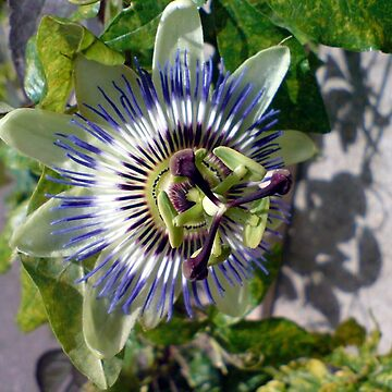 Passion Flower by morrigan