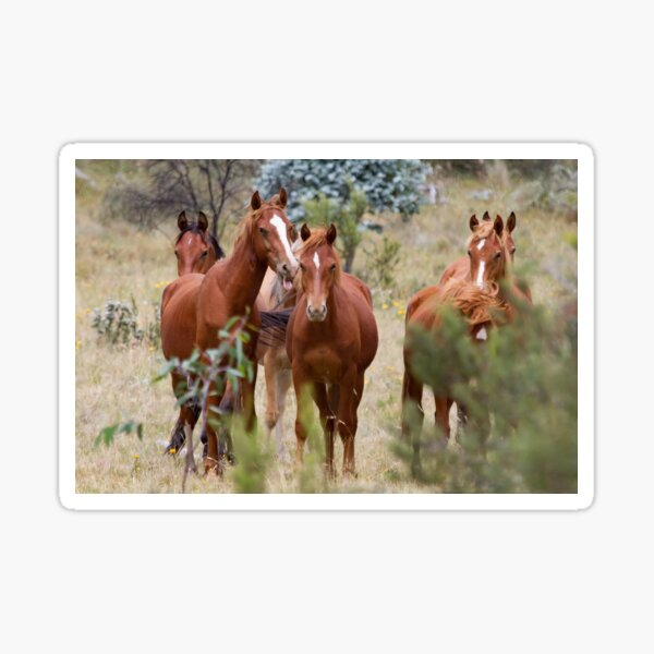 Wild Brumbies - Kosciuszko National Park, NSW Sticker