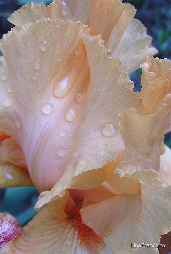 Iris Study by LinaFrancisco