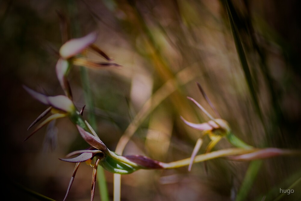 AUSTRALIAN BROWN BEAK ORCHID by hugo