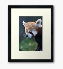 Cute Red Panda Photograph Framed Print