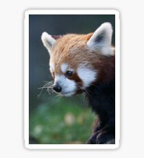 Cute Red Panda Photograph Sticker