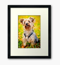 Cute Little Yorkie Yorkshire Terrier Dog Framed Print