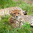 Cheetah by Clive S