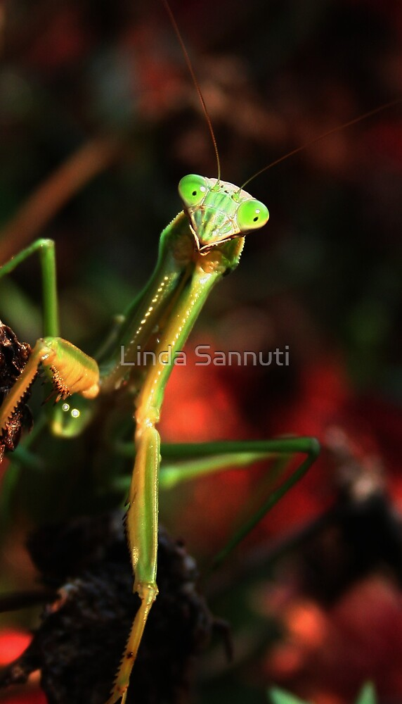 portrait of a praying mantis by Linda Sannuti