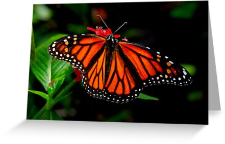 Monarch Butterfly by Terry Best