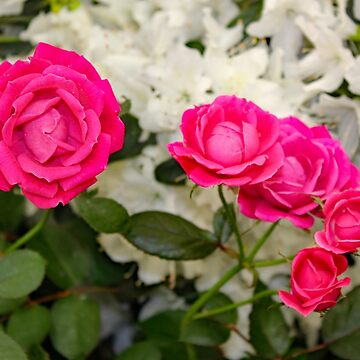The Faries in My Garden Wanted Roses by qbranchltd