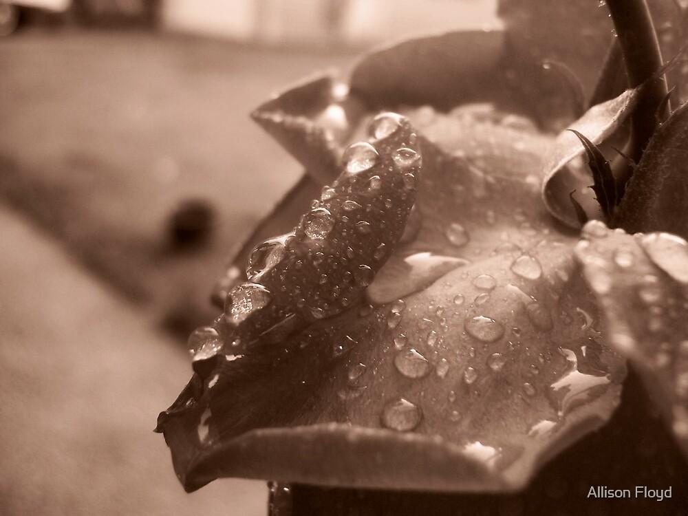 Raindrops on Roses II by Allison Floyd
