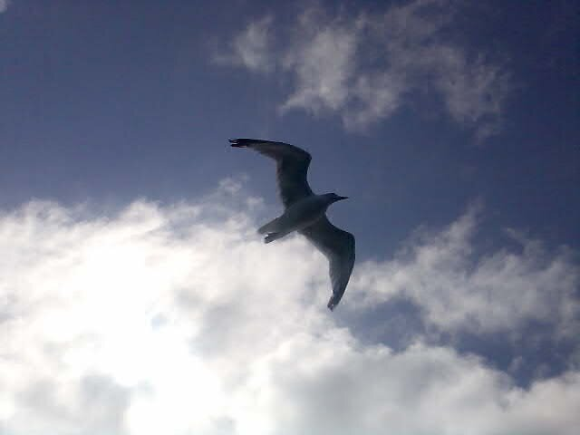 Seagull by Roger Poole
