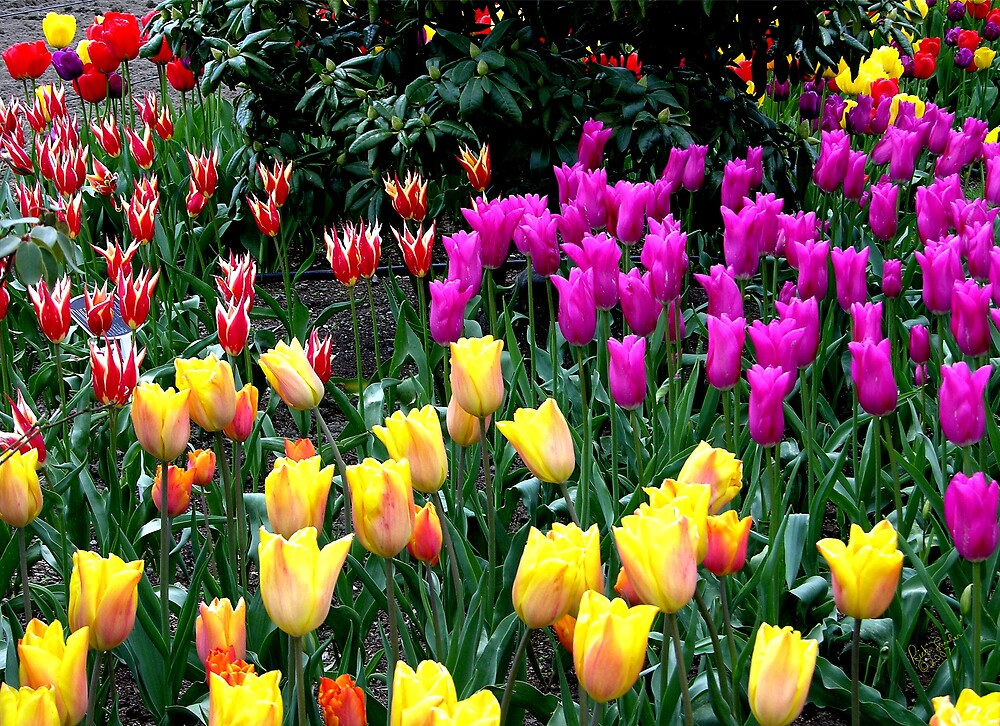 Tulip Festival by Rick Lawler