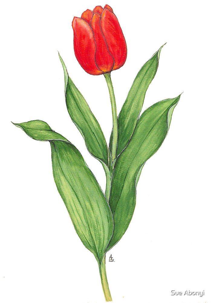 Red Tulip by Sue Abonyi