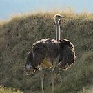 Ostrich is one of the world's largest birds......... by DonnaMoore