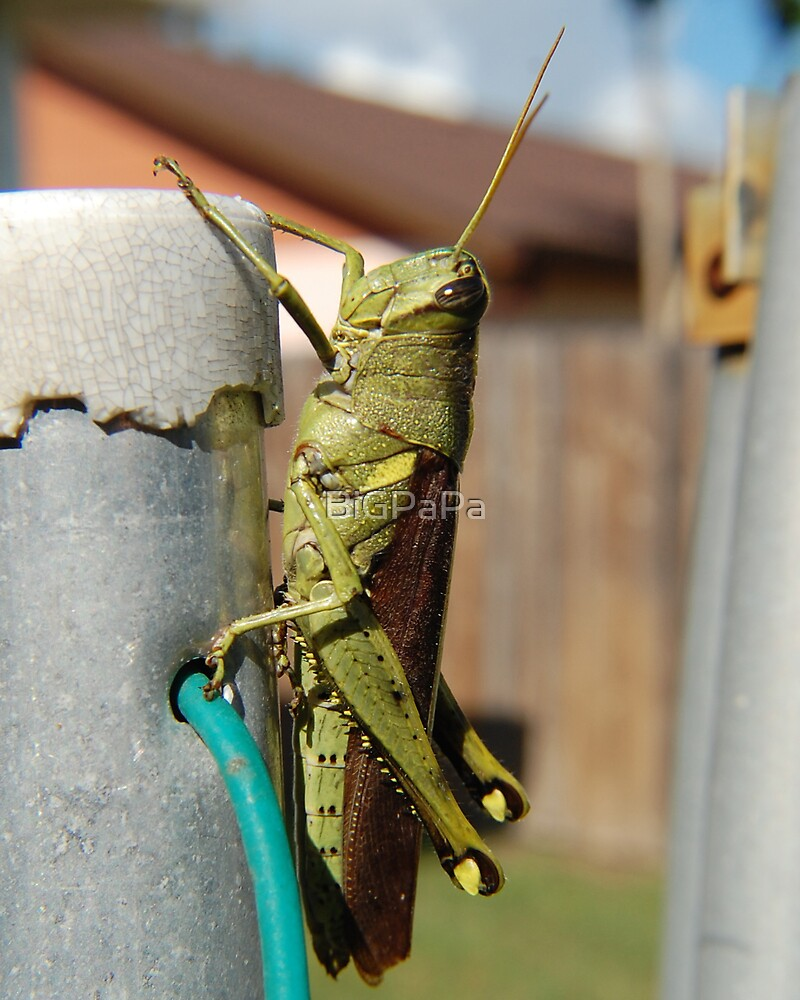 Grasshopper by BiGPaPa