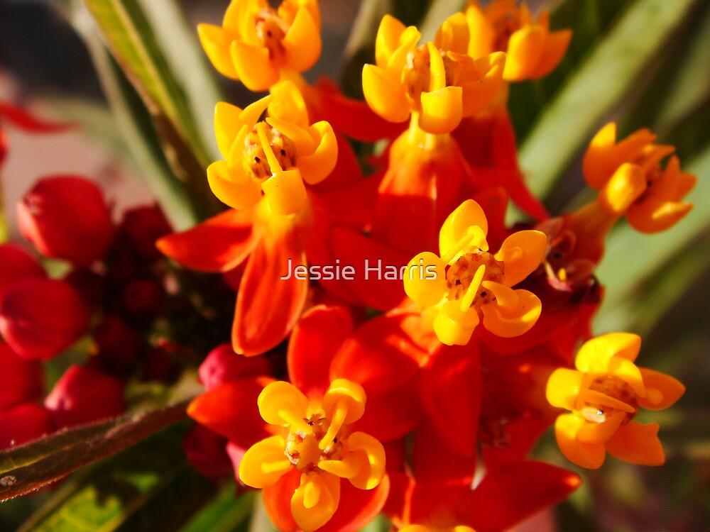 Orange by Jessie Harris