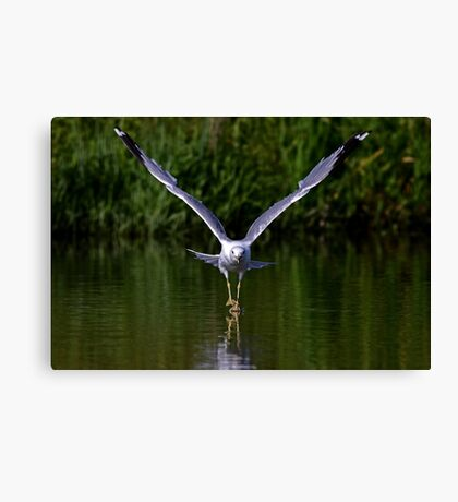 Seagull walks on water Canvas Print