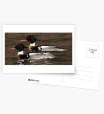 Red-Breasted Merganser's Postcards
