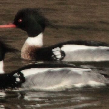 Red-Breasted Merganser's by ThomasMurphy