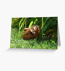 Wild Guinea Pig of Winnipeg Greeting Card