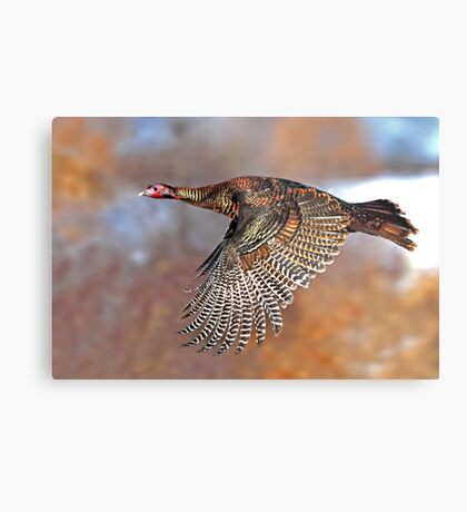 Turkey Flying - Wild Turkey, Ottawa, Canada Metal Print