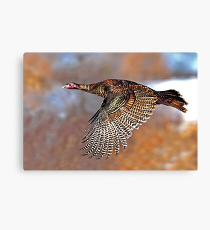 Turkey Flying - Wild Turkey, Ottawa, Canada Canvas Print