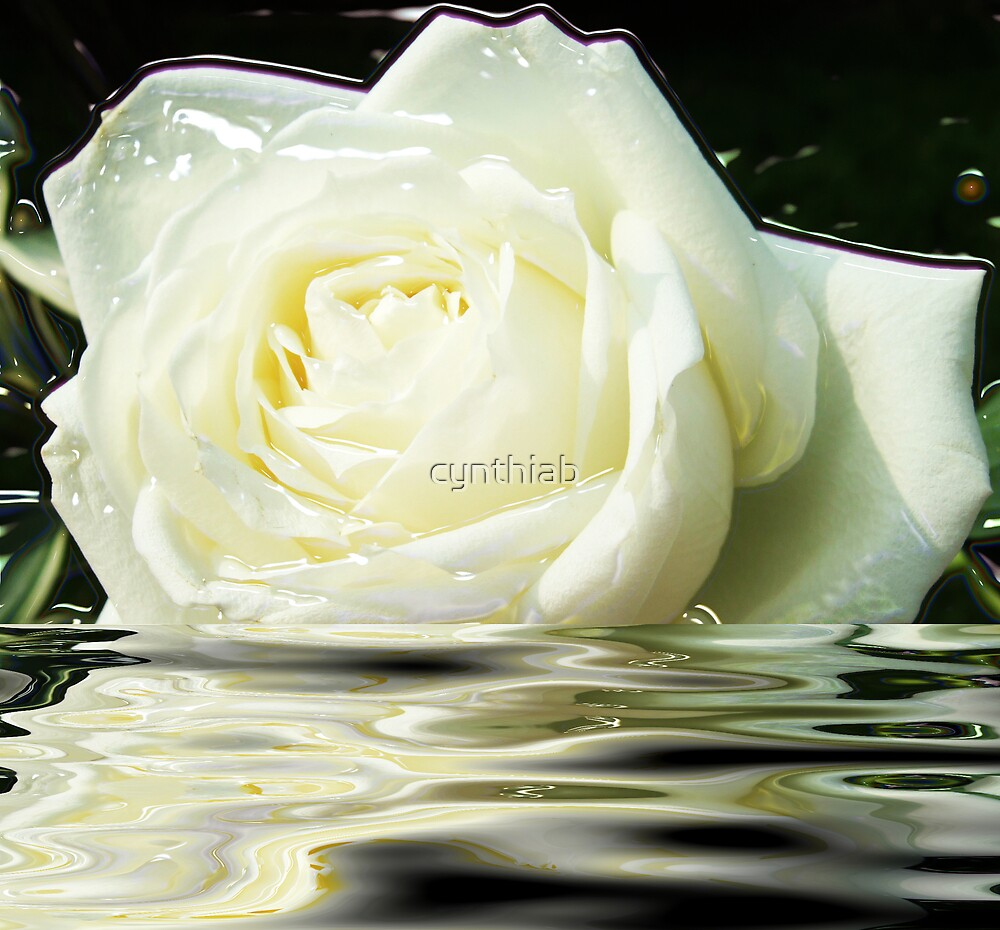 white rose  by cynthiab
