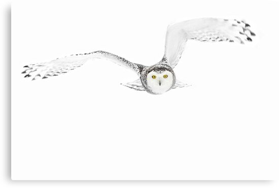 Eyes on the prize - Snowy Owl by Jim Cumming