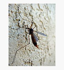 Crane Fly Photographic Print